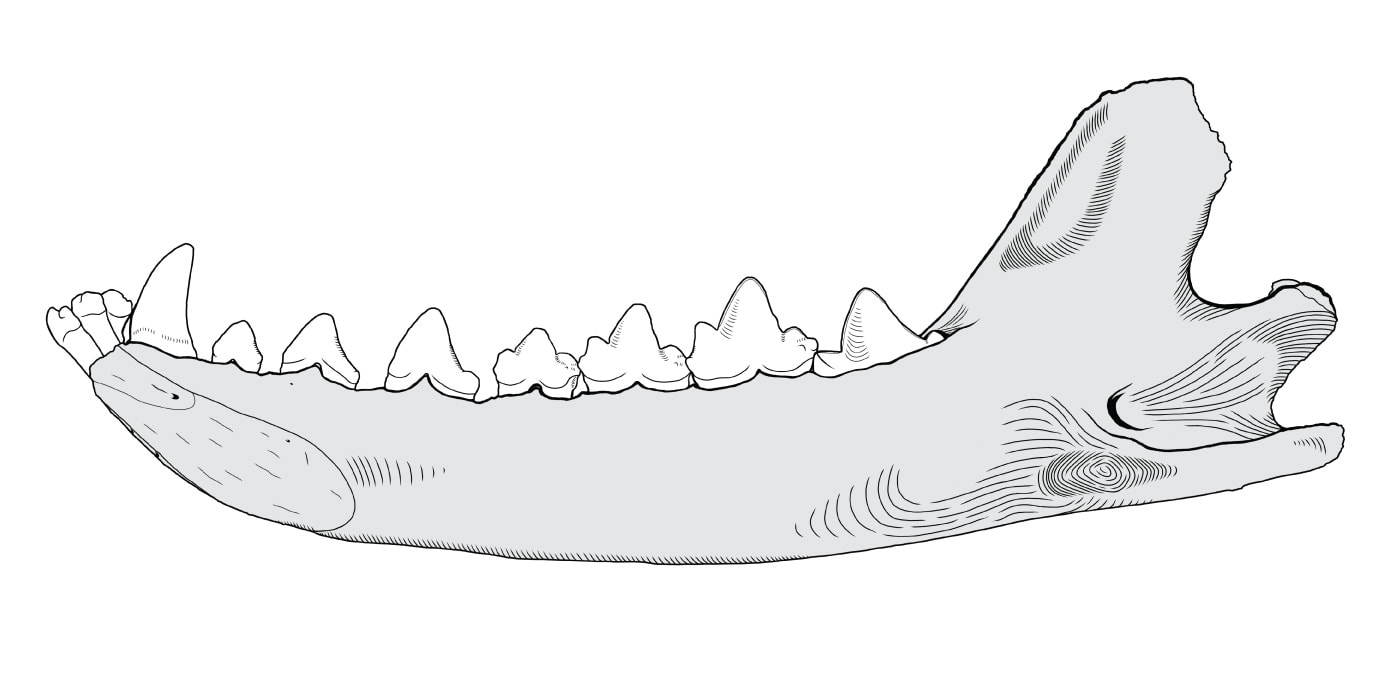 Medial drawing of Thylacinus mandible