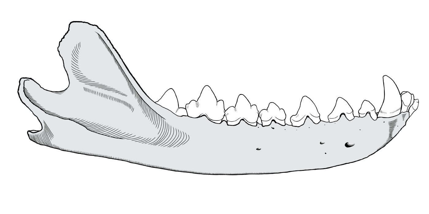 Lateral drawing of Thylacinus mandible